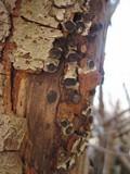 Biscogniauxia marginata image