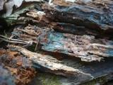 Byssocorticium pulchrum image