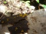 Calocera furcata image