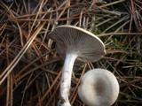 Clitocybe subspadicea image