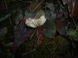 Gymnopus erythropus image