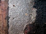 Resupinatus urceolatus image