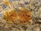 Caloplaca feracissima image