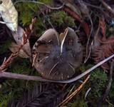 Cortinarius vanduzerensis image