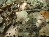 Cortinarius aprinus image