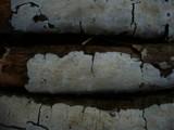 Crustomyces subabruptus image