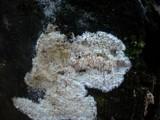 Dentipellis fragilis image