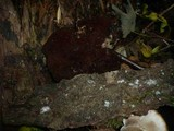 Ganoderma carnosum image