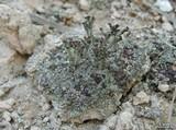 Image of Cladonia simulata