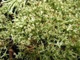 Cladonia uncialis image
