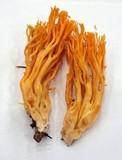 Ramaria gelatinosa image
