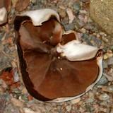 Peziza arvernensis image