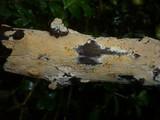 Hyphodontia rimosissima image