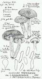 Inocybe arthrocystis image