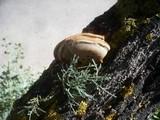Inonotus tamaricis image