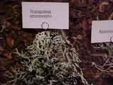 Hypogymnia enteromorpha image
