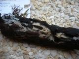 Lagarobasidium detriticum image