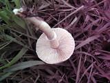 Stropharia coronilla image