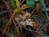 Ramaria gracilis image