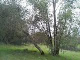 Amanita vernicoccora image