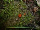 Scutellinia trechispora image