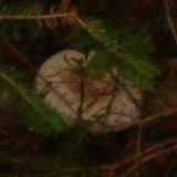 Lactarius deceptivus image