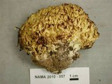 Ramaria magnipes image