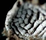 Porodisculus pendulus image