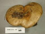 Paxillus vernalis image