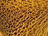 Suillus americanus image