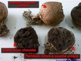 Scleroderma verrucosum image