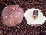 Suillus pseudobrevipes image