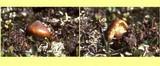 Cortinarius alpinus image