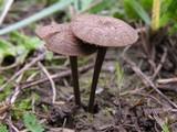Image of Entoloma flocculosum