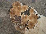 Diplomitoporus crustulinus image