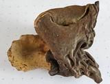Gyromitra ambigua image