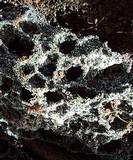 Leucoagaricus gongylophorus image