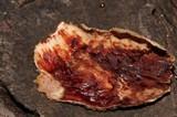 Stereum sanguinolentum image