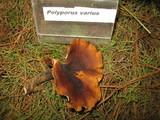 Polyporus varius image