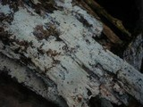 Hyphodontia aspera image