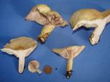 Lactarius aspideoides image