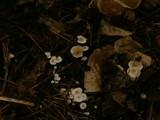 Collybia cirrhata image