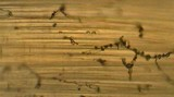 Mycena aciculata image