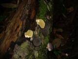 Lycoperdon purpurascens image
