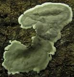 Kretzschmaria deusta image