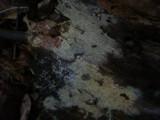 Amphinema byssoides image