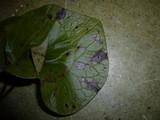 Septoria asari image