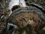 Sarcodontia spumea image