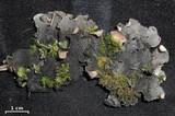 Peltigera ponojensis image