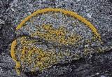 Caloplaca verruculifera image